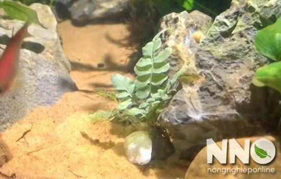 Trồng cây dương xỉ thủy sinh