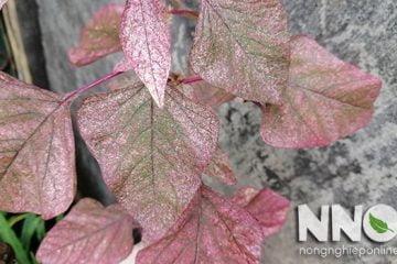 Các loại sâu bệnh trên cây rau dền & cách khắc phục