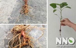 Rễ cây rau dền dùng để làm gì