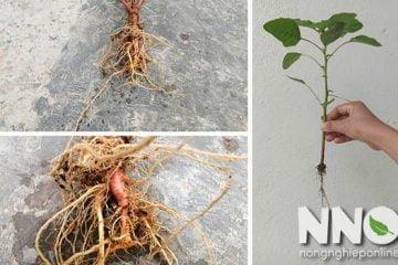 Rễ cây rau dền, đừng vội bỏ đi vì nó rất có ích