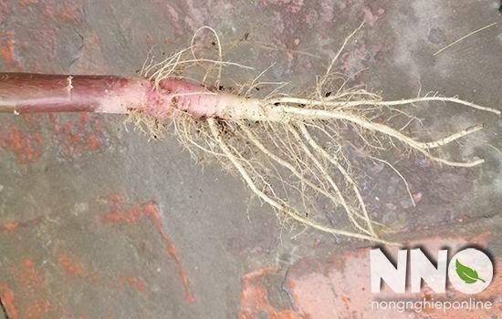 Rễ cây rau dền