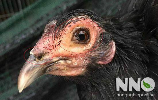 Bệnh APV trên gà