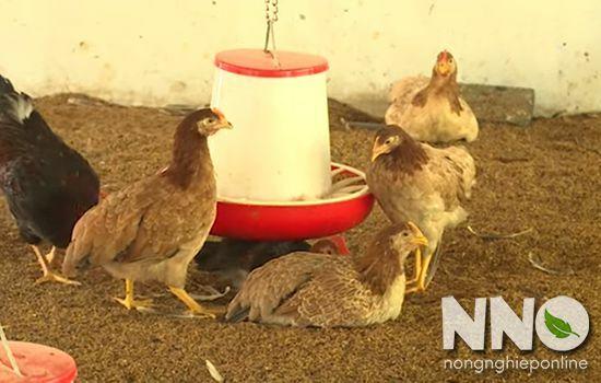 Bệnh CRD trên gà