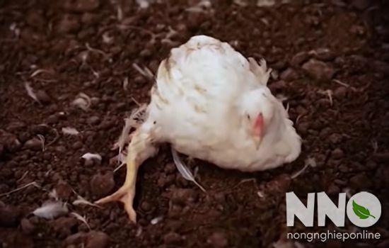 Bệnh cúm gia cầm ở gà
