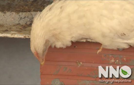 Triệu chứng bệnh cúm gia cầm ở gà