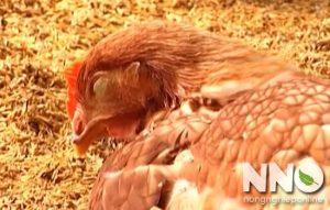 Bệnh viêm thanh khí quản truyền nhiễm ở gà