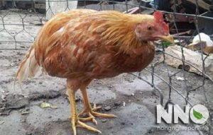 Bệnh khô chân ở gà