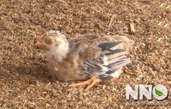 Bệnh IB trên gà (bệnh viêm phế quản truyền nhiễm)