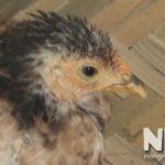 Bệnh E. Coli ghép thương hàn ở gà