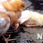 Bệnh nấm phổi ở gà