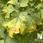 Cây mướp đắng bị vàng lá