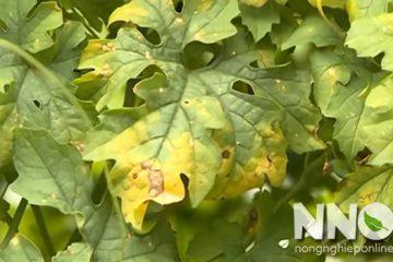 Cây khổ qua bị vàng lá, xoăn lá và cách trị bệnh hiệu quả