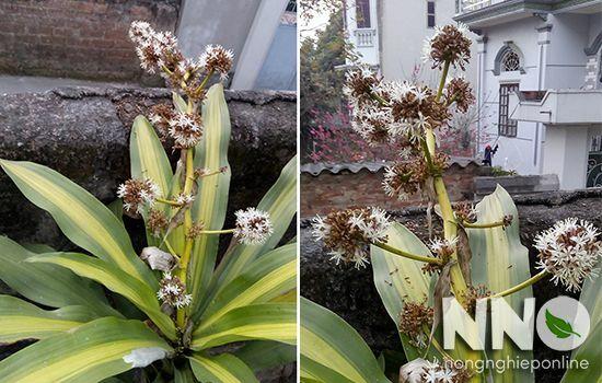 Cây thiết mộc lan ra hoa