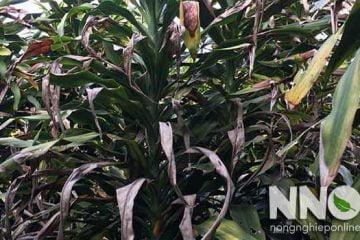 Cây thiết mộc lan bị vàng lá, héo lá, nguyên nhân và cách khắc phục