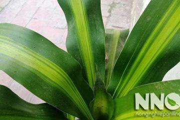 Tác dụng và ý nghĩa cây thiết mộc lan, cây mang tài lộc vào nhà