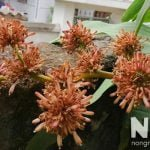 Hoa thiết mộc lan