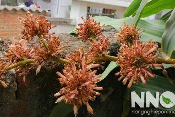 Cây thiết mộc lan ra hoa khi nào, mùa nào, hoa thơm không