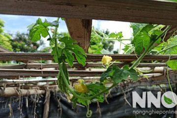 Cách trồng mướp đắng (khổ qua) trong thùng xốp tại nhà