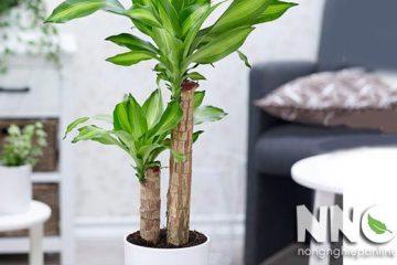 Cây thiết mộc lan có độc không? có nên trồng trong nhà không